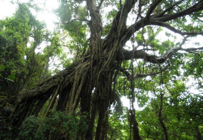 緑とガジュマルの木