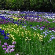 広い花菖蒲園ですが、周囲に日陰の休憩所もあり、ゆっくりと綺麗な花菖蒲の鑑賞ができます。