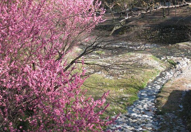3月中旬は梅も楽しめます。