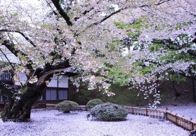 日本最古のソメイヨシノ、雪が降ったようです