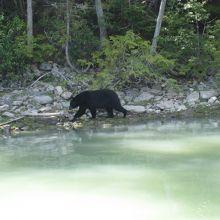 泳ぐクマをボートから観察★クマがたくさん★Blue riverでリバー・サファリ