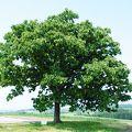 写真:セブンスターの木