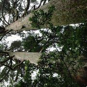 樹齢2000年の大木に見守られ