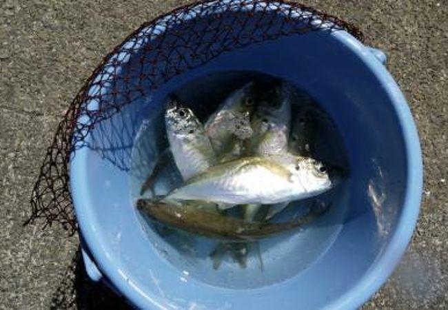 長男次男各4匹づつ釣って魚釣りは終了