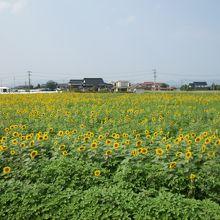 斐川町 ひまわり畑