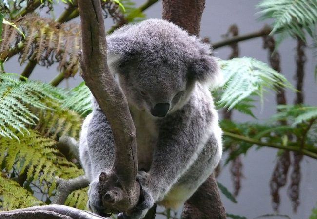 入口の近くにコアラ。