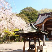 美しい桜の季節の深大寺