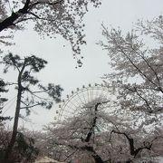 公園の桜は見ごたえあり