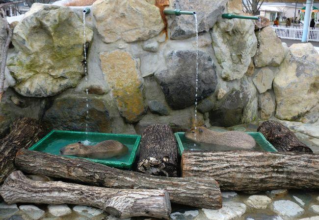 カピバラさん用のお風呂です。