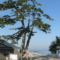 写真:海道の松