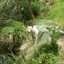 ホワイトタイガーです。餌の時にはカッコよく木に登ります。