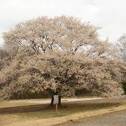 淡墨桜が見れます
