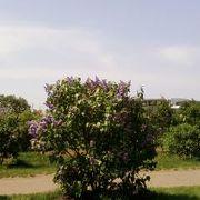 札幌の花ライラック♪