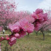 JR古河駅からシャトルバスがあります。 花桃の林が綺麗です、桃の花見も良いですね(h25.03.23)
