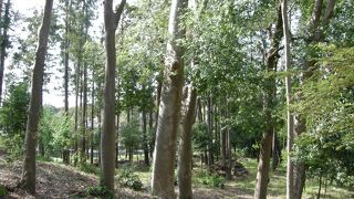 大和のシラカシ林