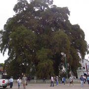 トトロに出てきそうな巨木