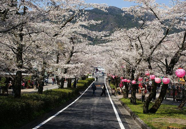 了玄の桜トンネル