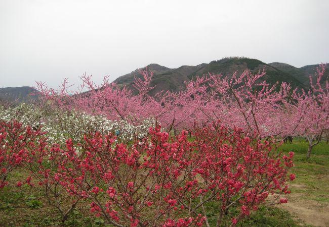 飯坂温泉 花ももの里
