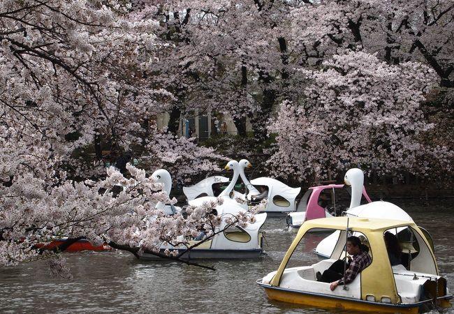 桜の時期は白鳥が渋滞します。