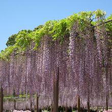中でも九尺藤という長い藤は見もの。