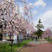 しだれ桜散歩道という桜の名所