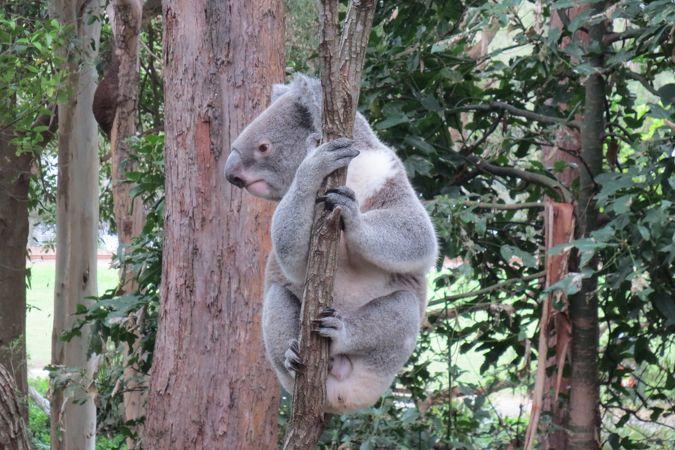 やっぱり人気はカンガルーとコアラですね。