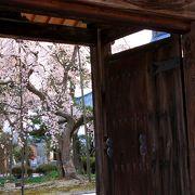 大宝寺の枝垂れ桜と雪柳 杉苔に散り落ちる花びら