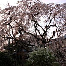 枝垂れ桜と雪柳
