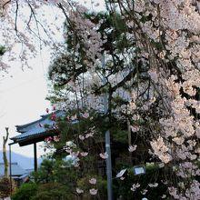 枝垂れ桜の向こうに見えるのが日野山だそうです。