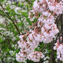 雪柳と枝垂れ桜