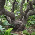 写真:テリハボクの大木