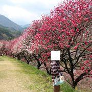 2013月川温泉花桃まつり