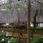 春雨・・・鮮やかな藤