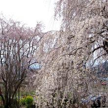 見事な枝垂れ桜でした