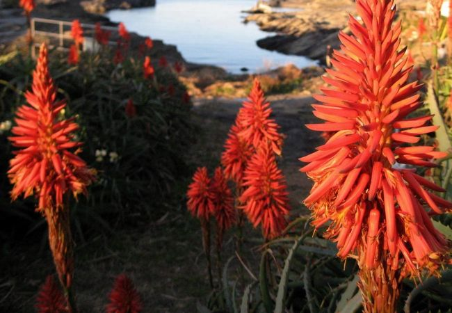 海岸に咲くアロエの花