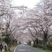 北桜通りの桜並木は桜のトンネル