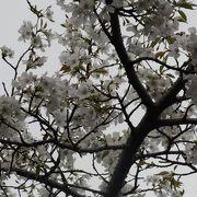 桜の花見客で大混雑