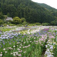 山をバックに花菖蒲が楽しめます♪のどかでイイなぁ〜。