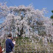 宇治といえば桜!