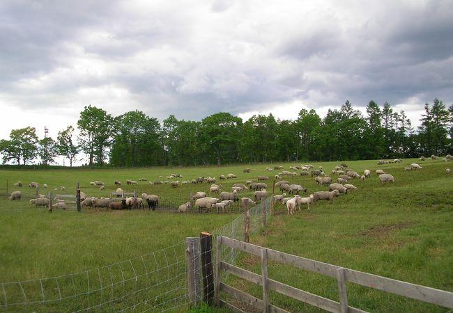 可愛い羊を見ているだけでも楽しい