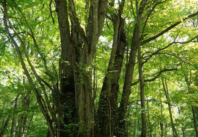 巨木 森の神様