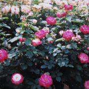 バラの花に囲まれて