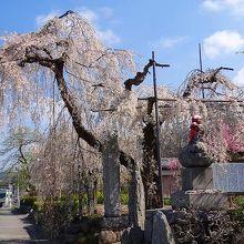 山門前の「与楽の地蔵ざくら」