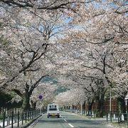 さくら百選に選ばれた4キロの桜並木