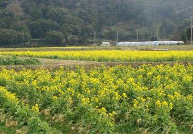 革の向こうは菜の花畑
