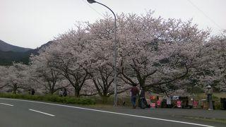 隠れた桜の名所です。