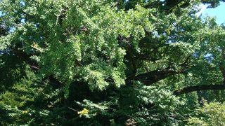 樹齢のあるイチョウの木