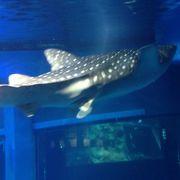 ジンベイザメは見るべき