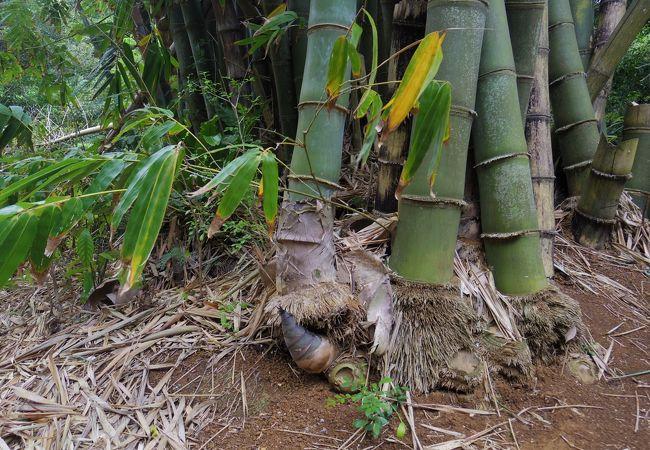 竹の根元からたけのこが!