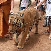 【タイガーテンプル】トラを連れて散歩!